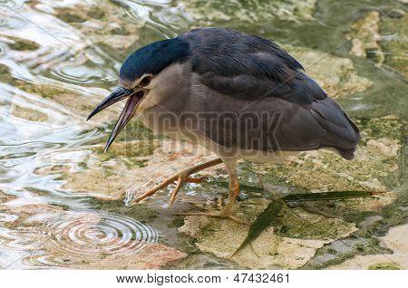 Black-crowned Heron