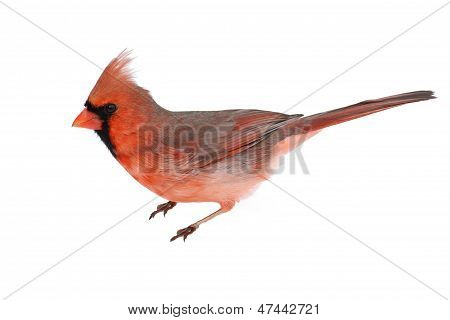 Male Cardinal On White