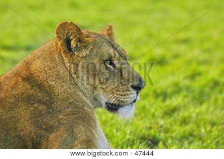Lioness