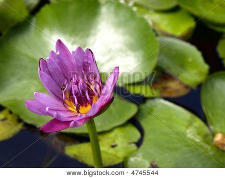 Flor tailandesa