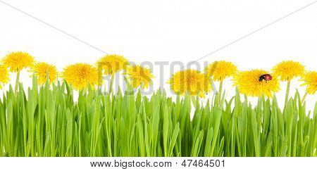 Dandelion flowers with grass isolated on white