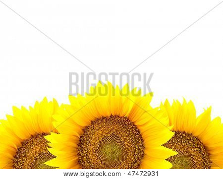 Border of large Sunflowers isolated on white / flowers frame