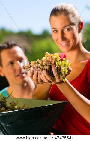 Woman and man - winegrower - working with grape harvesting machine and having fun