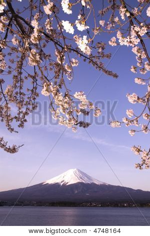 Mt Fuji & Sakura