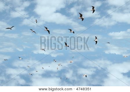 Flock Of Gulls