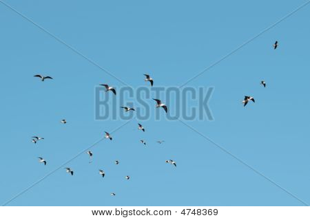 Flock Of Sea Birds