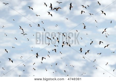 Flocks Of Gulls