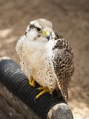 foto of small-hawk  - Small falcon in the national park - JPG