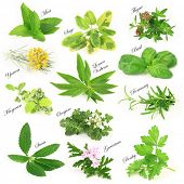 stock photo of peppermint  - Collection of fresh aromatic herbs - JPG