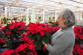 stock photo of poinsettias  - A mature woman is holding and examining a potted poinsettia plant among many in a nursery - JPG