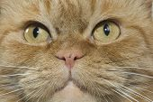 Close Up Of A Red Domestic Cat poster