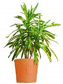 picture of crotons  - House croton plant in brown pot close up - JPG