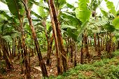 stock photo of banana tree  - A field of banana trees on a farm - JPG