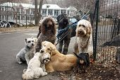 stock photo of scottie dog  - This is an image of a group of dogs tied up and waiting for their dog walker - JPG
