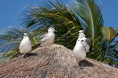 stock photo of playa del carmen  - Seagulls sitting in the tropical sun on the roof of a hut - JPG