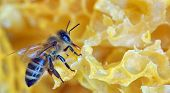 stock photo of beehive  - a bee on a honeycomb macro - JPG