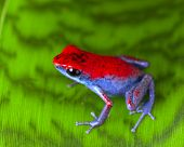 stock photo of poison dart frogs  - strawberry poison dart frog red and blue Oophaga pumilio from the Escudo Island Bocas del Toro in Panama tropical rainforest animal - JPG