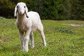 stock photo of baby sheep  - Portrait of an adorable beautiful lamb standing in a green alpine meadow - JPG