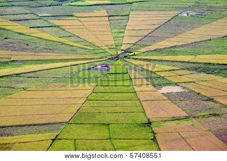 Spider Web Rice Paddy Field