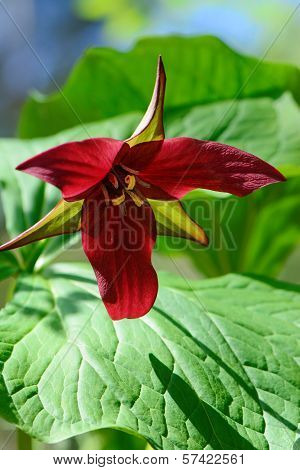 Single Red Trillium Blossom