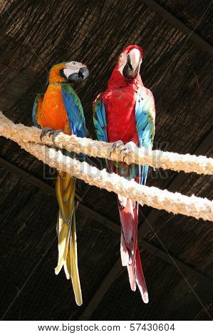 Two Beautiful Colorful Ara Parrots