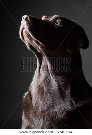 Striking Labrador Looking Up