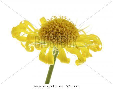 Flor muerto