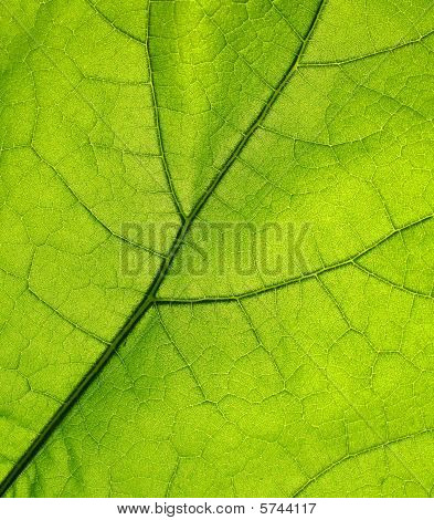 Green leaf back lit by the sun