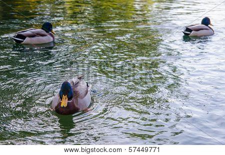 Three Ducks Floating