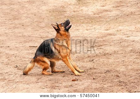 shepherd dog standing on the ground preparing to jump or bark
