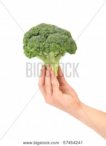 Hand holds fresh healthy brocoli.