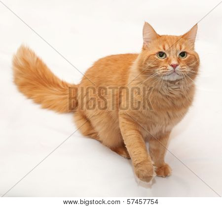 Red Fluffy Cat Sits With His Front Paw