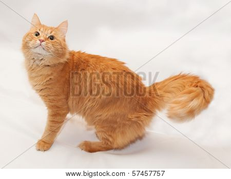 Red Fluffy Cat Is Worth Looking Up