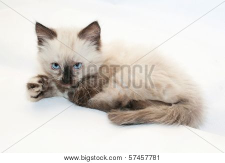 Seal Point Kitten With Blue Eyes , Ready To Pounce