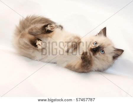 Seal Point Kitten With Blue Eyes Fell, With His Paws