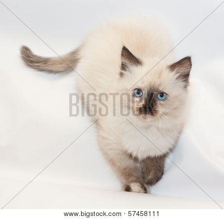 Seal Point Kitten With Blue Eyes Folded Front Paws