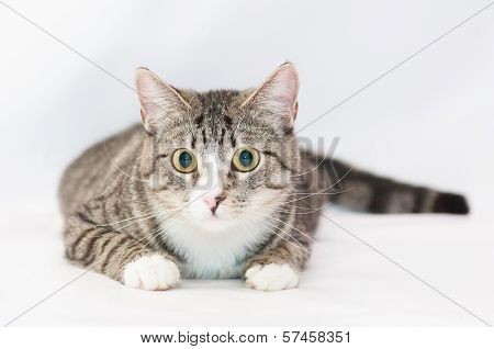 Tabby Cat With Yellow Eyes And White Nose, Looking Surprised On White Background
