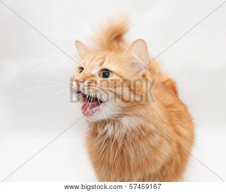 Red Cat Hisses Irritably