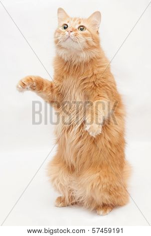 Red Cat Standing, Balancing On Its Hind Legs