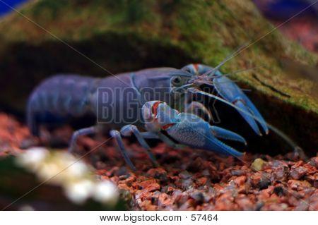 Crayfish...