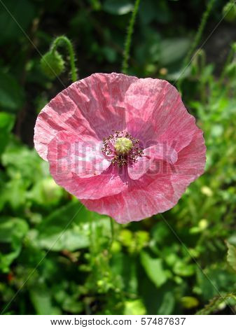 Pink poppy against green grass