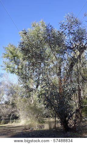 Australian White Mallee Eucalypt
