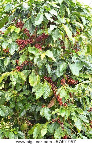 Fresh Coffee Bean On Tree