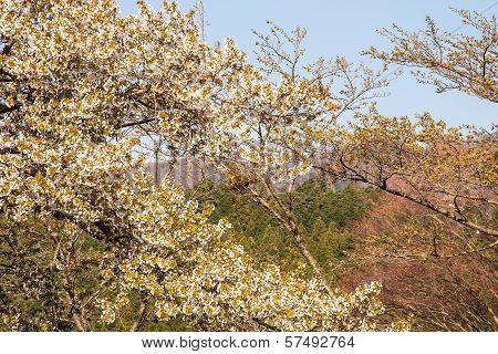 Sakura Branch