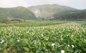 Calla Lily Farm In The Small Valley