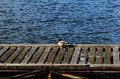 foto of dock a pond  - one duck in dock on the lake - JPG