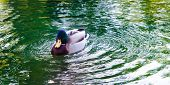 foto of canard  - A duck on a green water lake making waves - JPG