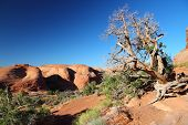 foto of juniper-tree  - Arches National Park in Utah USA - JPG