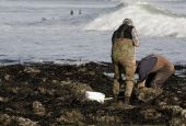 image of clam digging  - Men digging for clams at the shoreline in california - JPG