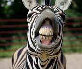stock photo of zoo  - Funny Zebra smile and teeth in the zoo - JPG